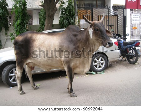 DELHI, INDIA - JULY18: Holy cow on the street next to vehicles on July18, 2010 in Delhi, India.