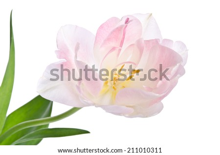Delicate beautiful tulip on a white background