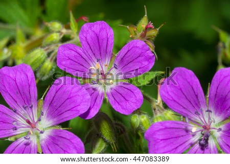 Delicate blue flowers of the meadow geranium ( Geranium pratense) - stock photo