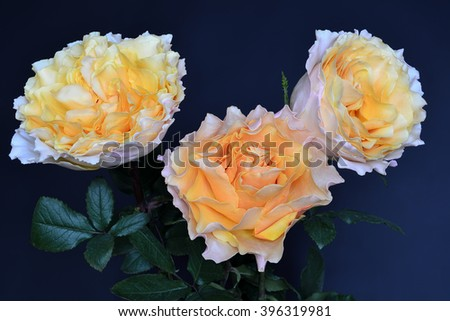 Delicate bouquet of cream roses close-up on a blue background - stock photo