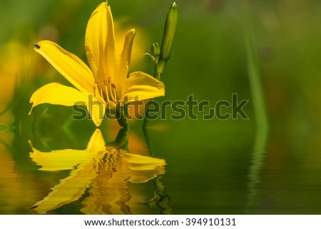 Delicate bright floral natural background with yellow lily flower closeup on a sunny day with reflection in water - stock photo