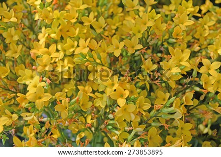 delicate bright yellow Flaming Katy flower is flowers background  - stock photo