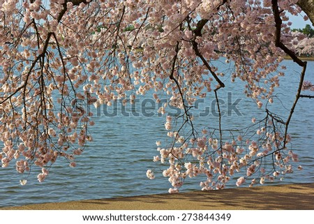 Delicate cherry blossom branches near the Tidal Basin waters. Flowers abundance during a cherry blossom festival in Washington DC, USA. - stock photo