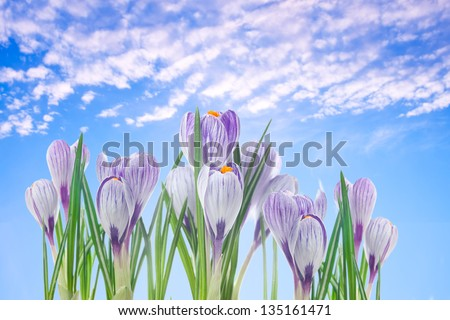 delicate crocuses against the blue sky background