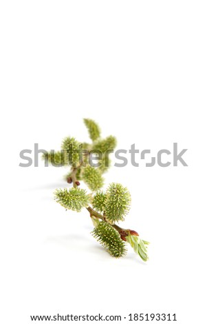 Delicate flowering willow branches isolated on white background. - stock photo