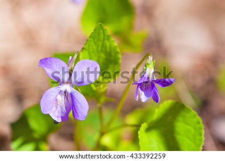delicate flowers of lilac violets, summer's day, close-up - stock photo