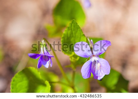 delicate flowers of violets, summer's day, close-up - stock photo