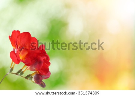 Delicate freesia flower on green nature background with sun light - stock photo
