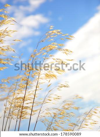 delicate grasses - stock photo