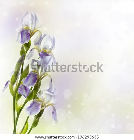 Delicate lilac iris on a white background. Flowers for the beloved