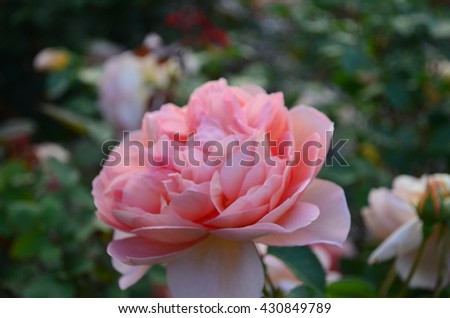 Delicate orange pink rose with green leaf background - stock photo