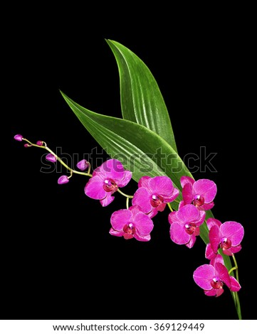 Delicate orchid flowers isolated on black background. Beautiful flower Orchid. - stock photo