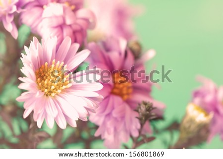 delicate pale lilac asters - stock photo