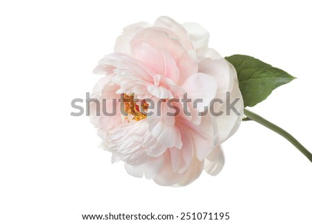 delicate pale pink peony flower isolated on white background - stock photo