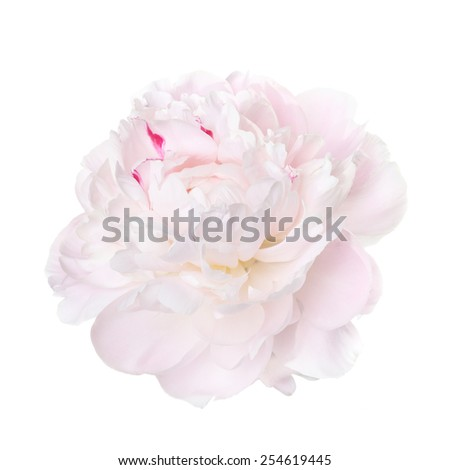 delicate pale pink peony isolated on a white background - stock photo