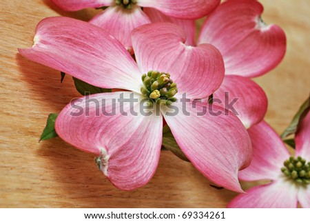 Delicate pink dogwood blossoms on wood background.  Macro with extremely shallow dof. - stock photo