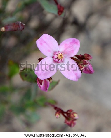 Delicate   pink flowers of  rare west Australian  wildflower Boronia ovata species blooming in late winter  in Crooked Brook  National Park Western Australia where it is a protected species. - stock photo