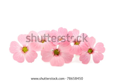 delicate pink flowers on a white background - stock photo