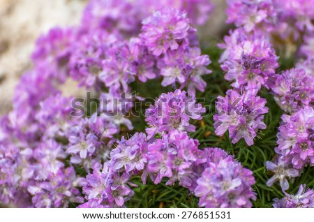 Delicate pink fowers of the Juniper-leaved Thrift (Armeria juniperifolia) - stock photo