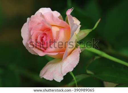 Delicate Pink Garden Rose Bud just coming into Bloom in a Country Garden in Shropshire, England - stock photo