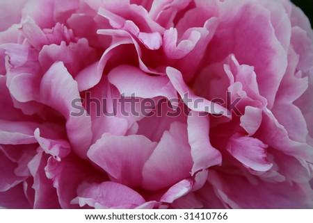 Delicate Pink Peony Flower Head - stock photo