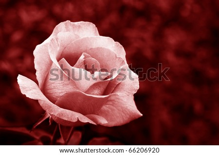 Delicate pink rose with out of focus foliage in background.  Partially desaturated with red tones added. - stock photo