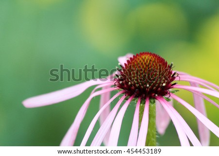 Delicate purple flower with thin pale petals - stock photo