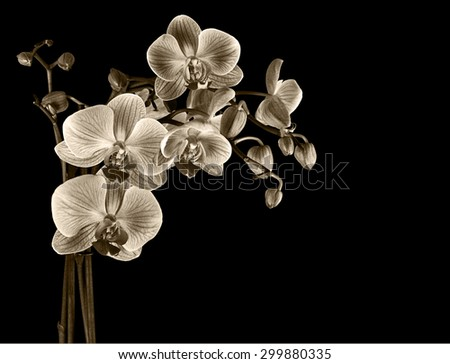 Delicate sepia cultivated orchid. Filtered image. Ideal sadness, bereavement etc. - stock photo