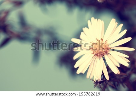 delicate white aster - stock photo