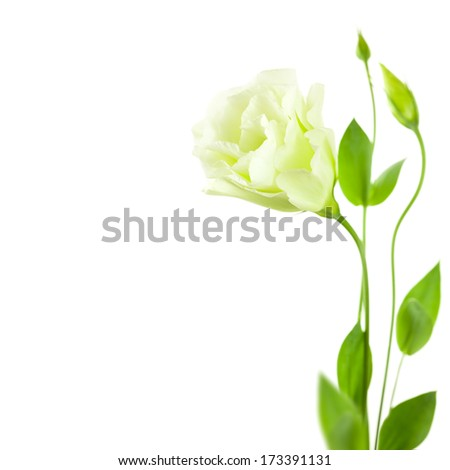 Delicate white Eustoma (Lisiantus) Flower with leaves and buds /  isolated with copy space  - stock photo