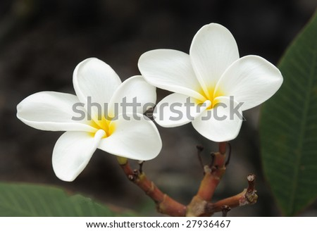 Delicate white Hawaiian Plumeria Flower.  This flower is the flower used to make the aloha leis. - stock photo