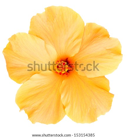 Delicate, yellow hibiscus flower found on the Big Island of Hawaii. Isolated on white makes for easy clipping path. - stock photo