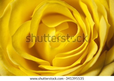 Delicate yellow rose perfectly in bloom. Texture from Mother Nature, close up shot showing petal detail - stock photo