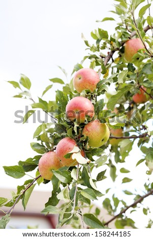 Delicious apples hanging on a tree