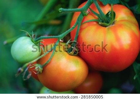 Delicious fresh tomatoes growing in a garden close-up. Shallow depth of field. Selective focus. - stock photo