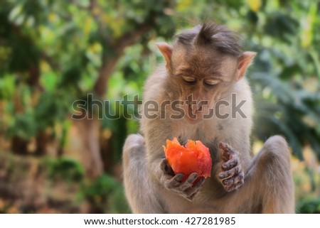 Delicious juicy tropical fruit (wholesome food, trade advertising, slogan of sales of fruit: she knows that there is a need). Indian macaques Macaca radiata. Ttropical forest. Monkey feeds close-up - stock photo