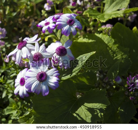 Delightful Cineraria is a genus of flowering plants in the sunflower family, in pretty colors of pink ,white, purple, blue ,mauve, flowering in winter  with daisy blooms against large green foliage. - stock photo