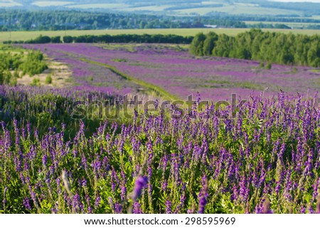 Delightful field of purple flowers (focus on foreground) - stock photo
