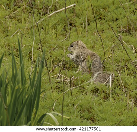 Delmarva Fox squirrel/An endangered Delmarva Fox Squirrel (Sciurus niger cinereus) foraging for food in a field on the Eastern Shore of Maryland