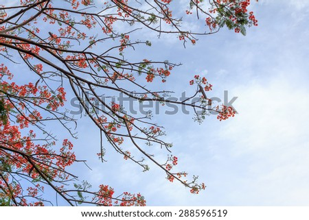 Delonix Regia or Flame Tree branch with red flowers and blue sky background Beautiful. selective center focus.