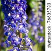 Delphinium at sunset - stock photo