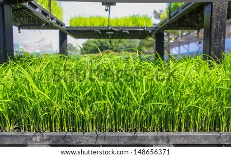 Demonstrated young rice sprout