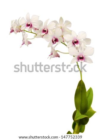 Dendrobium isolated on white background - stock photo