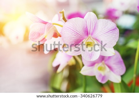 dendrobium orchid flower on blurred background - stock photo