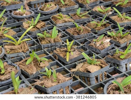 Dendrobium Orchid seedlings plant in a nursery