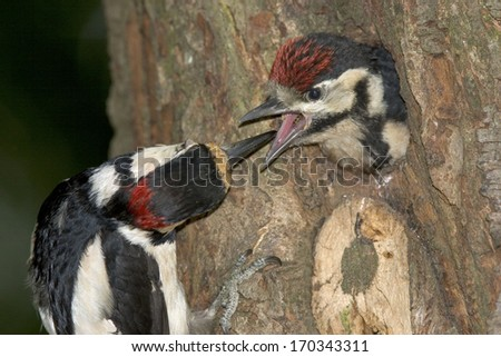 Dendrocopos major, Great spotted woodpecker, male, feeding, young - stock photo