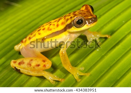 Dendropsophus rhodopeplus is a species of frog in the Hylidae family. It is found in the upper Amazon Basin in Bolivia, Brazil, Colombia, Ecuador, and Peru. - stock photo
