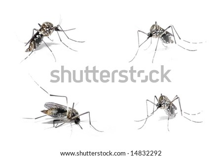 Dengue Host - Mosquito with blood in the body . - stock photo