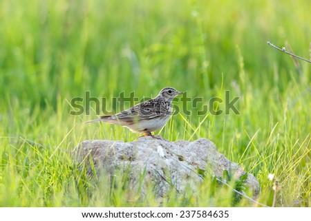 Denisovo. Ryazan region, Pronsky area. Russia. Alauda arvensis, Skylark. Wild bird in a natural habitat. Wildlife Photography. - stock photo