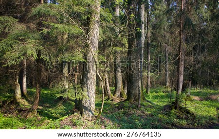 Dense forest with old alder tree in foreground,Bialowieza Forest,Poland,Europe - stock photo
